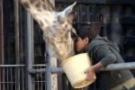 girafada-alaune